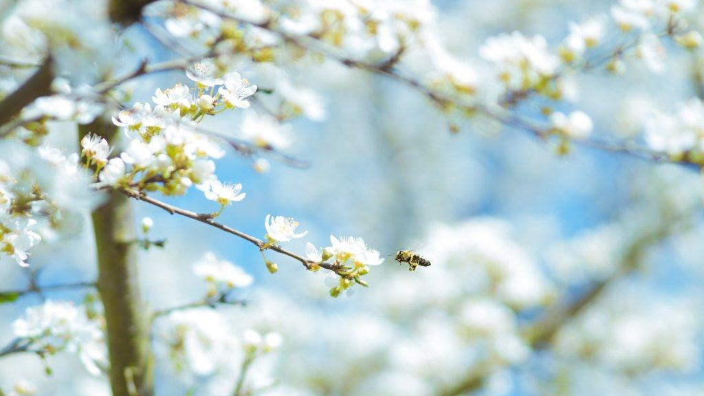 contaminacion y alergias abeja en flor polen