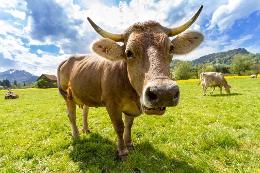 El estiércol de las vacas puede producir energía
