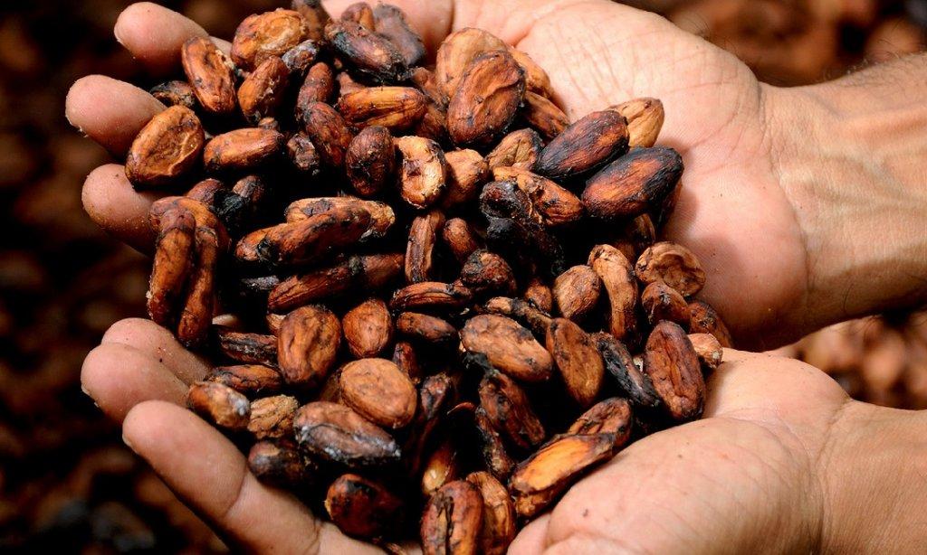cacao en grano- producción