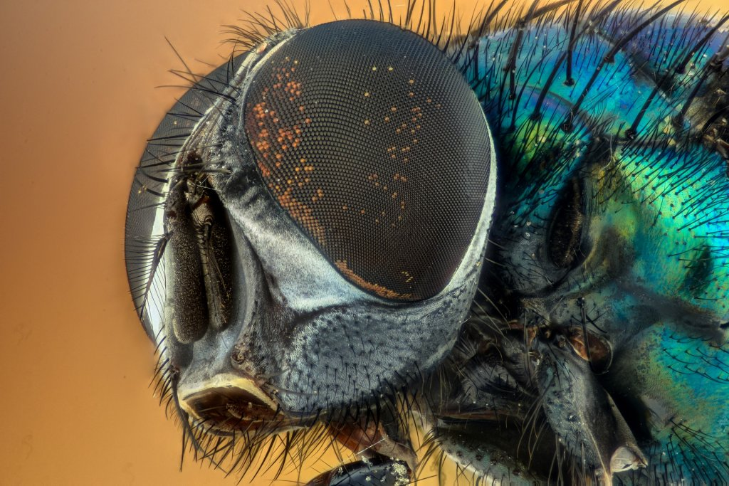 mosca negra en casa