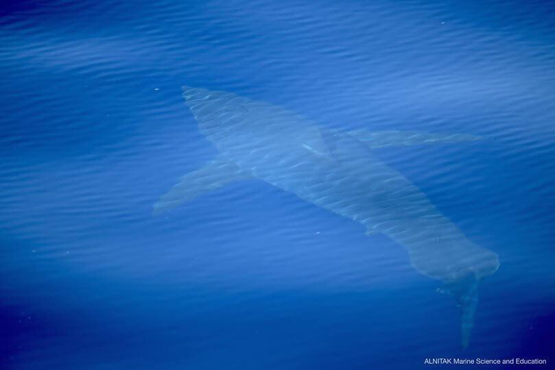 tiburón-blanco-cabrera