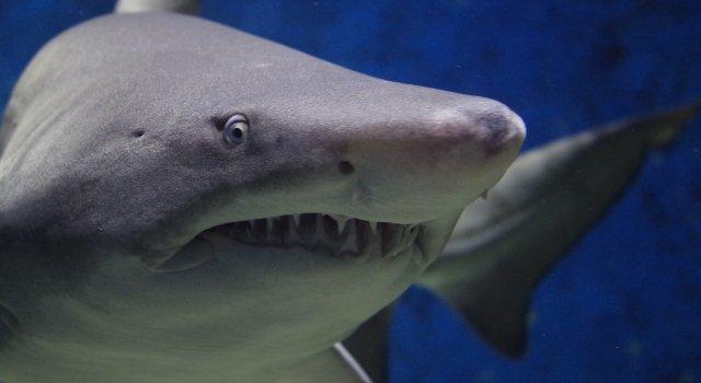 tiburón blanco espana