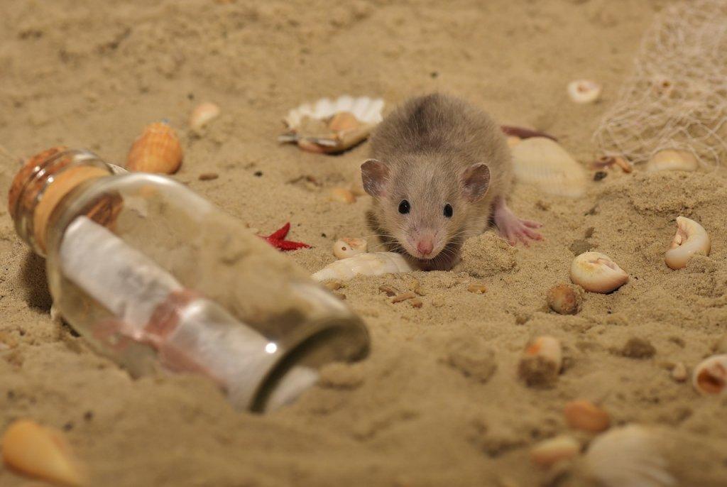 ratas-en-la-playa-barcelona