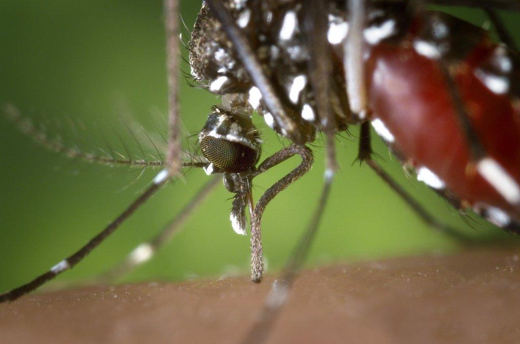 Los mosquitos pueden transmitir Dengue en España