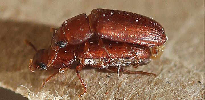 Fertilidad masculina en insectos, mermada por la contaminación