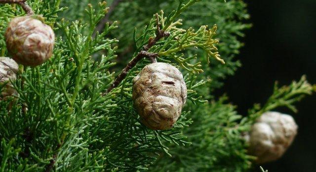 alergia-cipres-cupresaceas-invierno