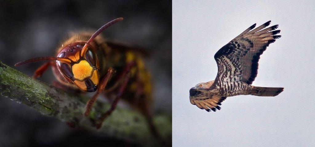 l halcón abejero, el arma perfecta para acabar con la avispa asiática