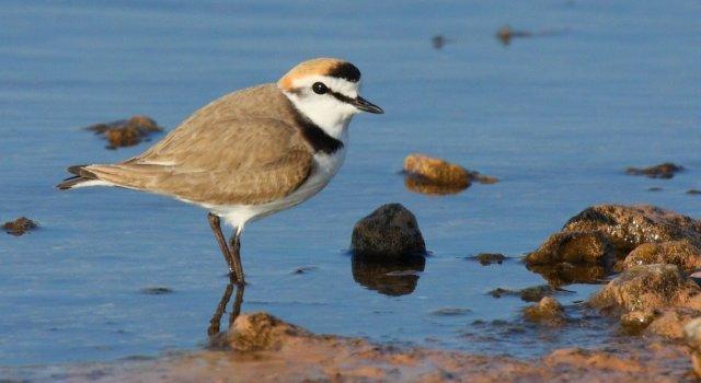 Un Chortilejo Patinegro. Fuente: SEO Birdlife