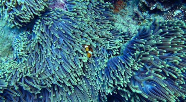 coral pez payaso nemo