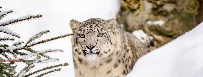 cambio climatico flora y fauna leopardo nieve