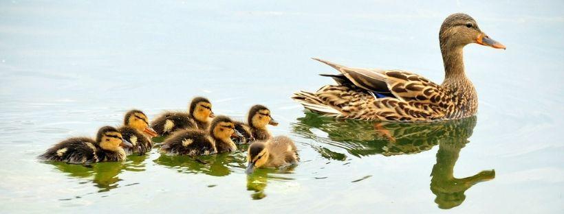 familia de patos impacto cambio climatico