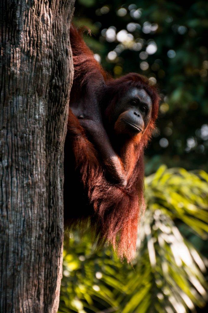 orangutanes jungla riesgo de deforestacion