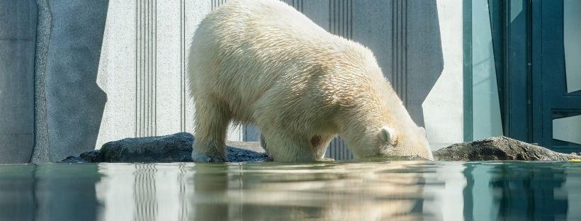oso polar deshielo artico