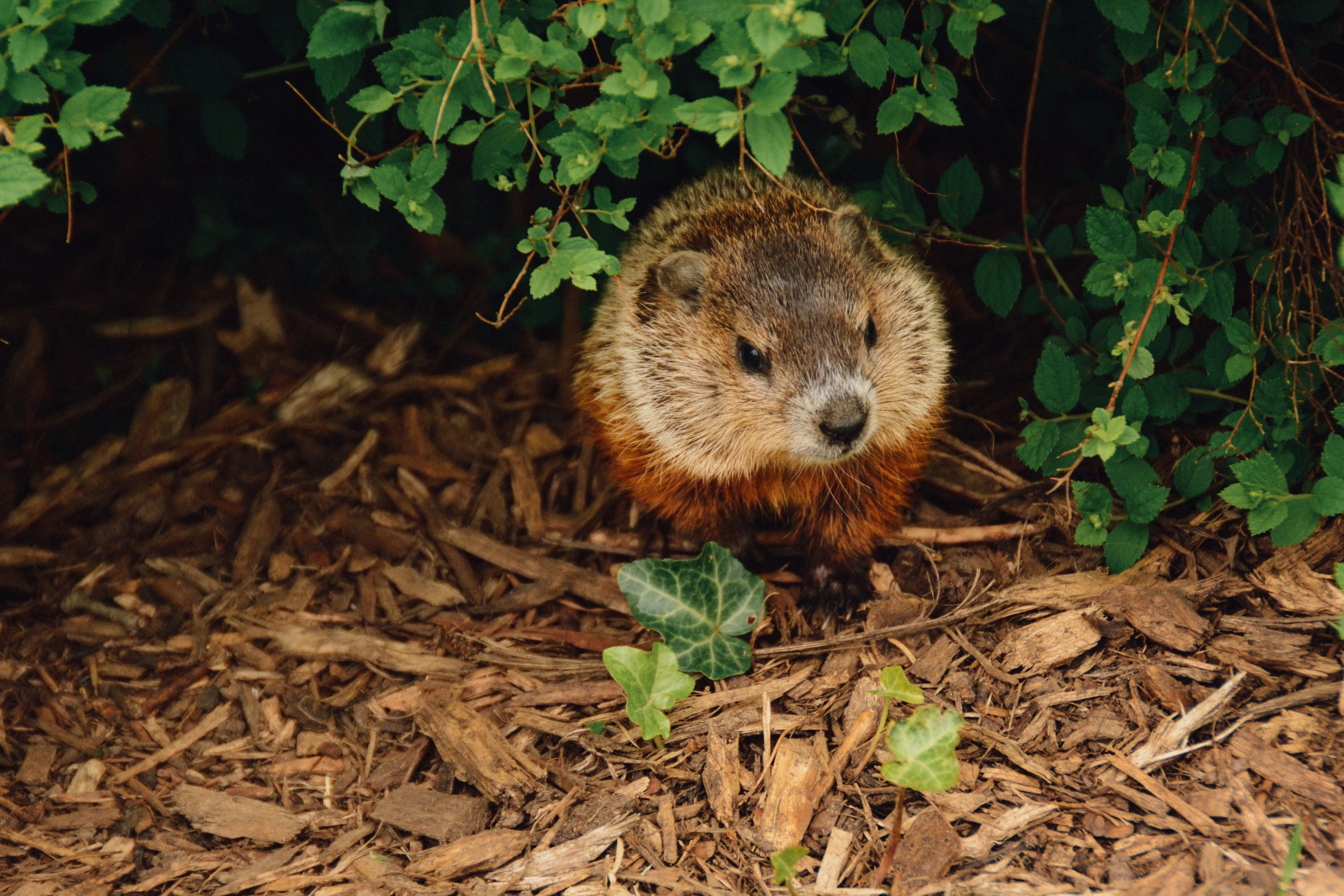 marmota phil dia de la marmota