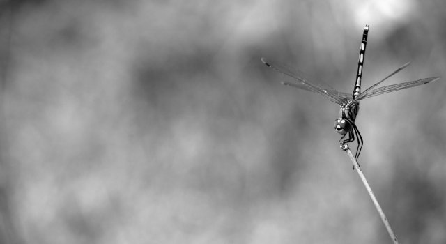 libelulas en canarias