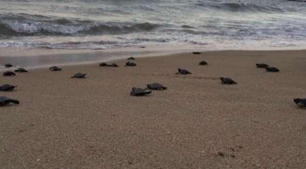 Nacen en Brasil una especie de tortugas que se encontraban en peligro de extinción