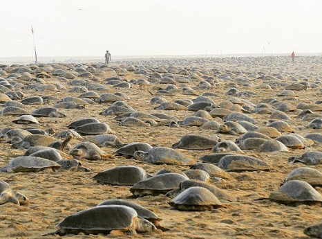 tortugas playas de la india anidacion coronavirus