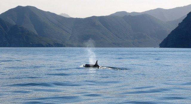 orcas-ataques-barcos