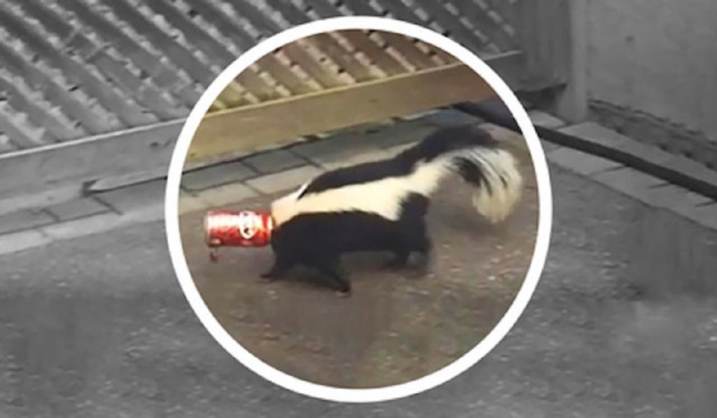 Mofeta con la cabeza atrapada por una lata de refresco