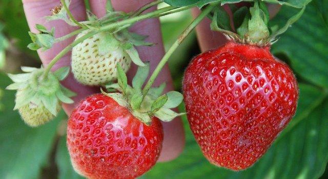 fresas-calidad-aire-contaminacion-vigilantes-aire