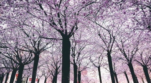 almendros en flor españa
