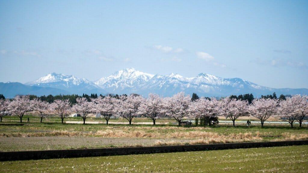 floracion - cerezos - flor - japon (2)
