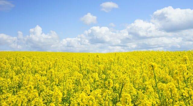 alergia gramínea polen