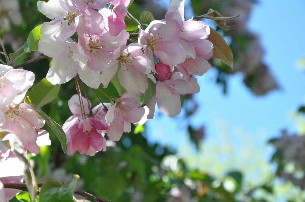 flores mayo manzano