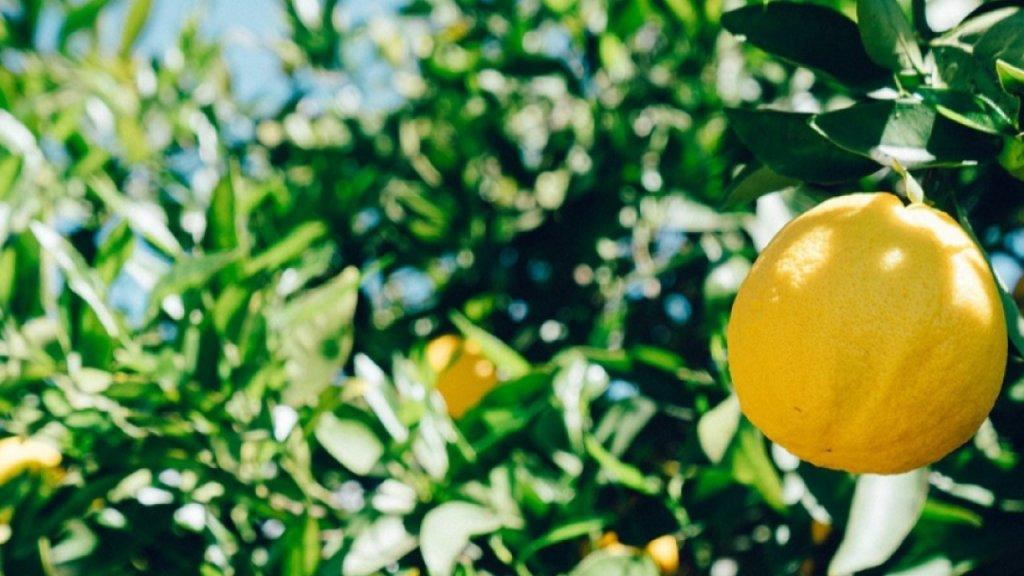 Limones en las ramas de un limonero