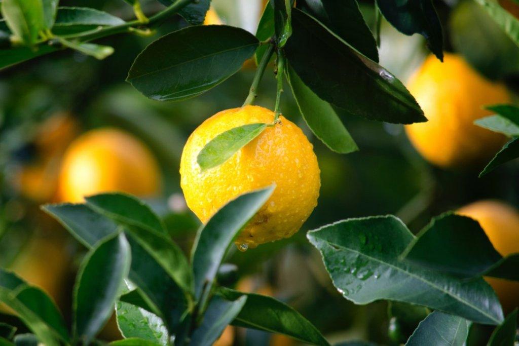 El sector del limón estudia mejoras para reducir aún más las emisiones