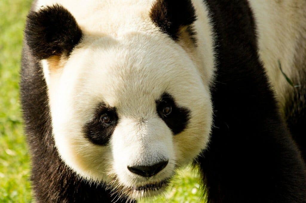 oso-panda-peligro-extincion-recuperacion (1)