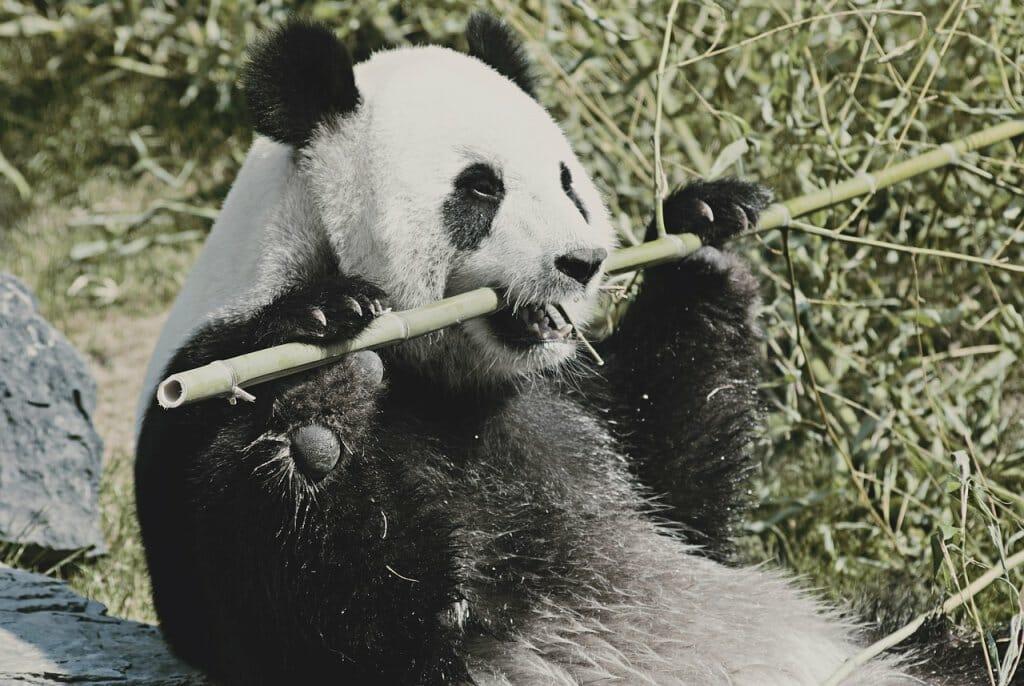 oso-panda-peligro-extincion-recuperacion (2)