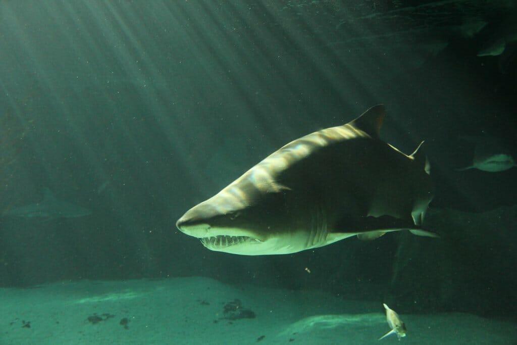 especies de tiburón