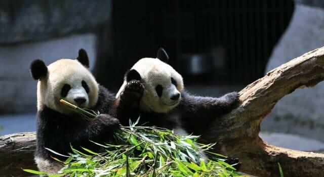 osos panda extincion china