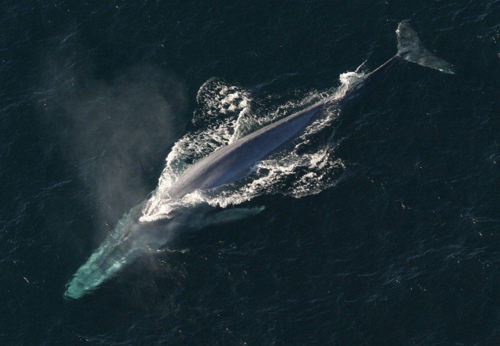 ballenas-azules-espana-galicia