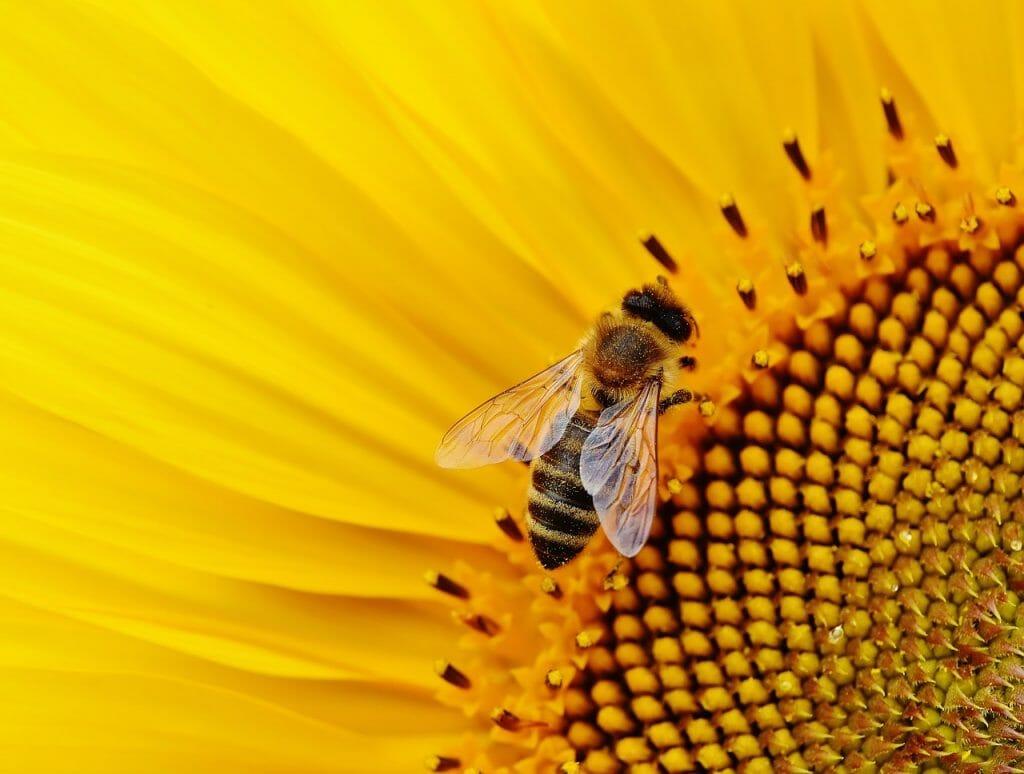 girasol-abeja-polinizacion