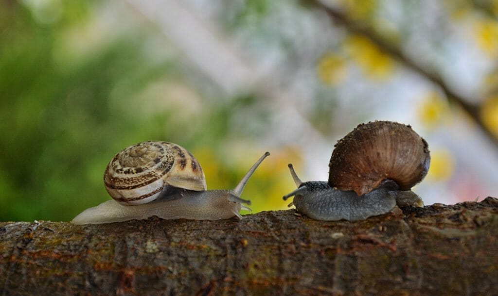plagas de caracoles