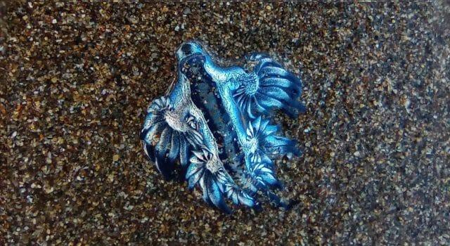 dragon-azul-que es
