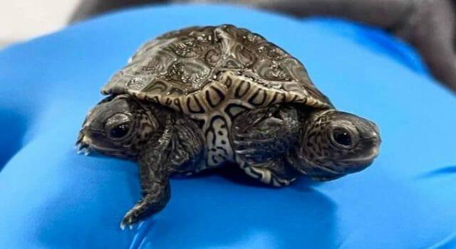 tortug-dos-cabezas-eeuu
