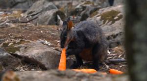 Australia lanza comida para salvar a los animales supervivientes de incendios