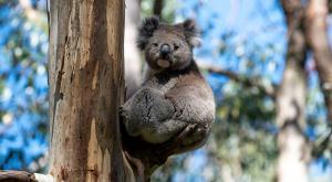 Expertos recomiendan no dar de beber a koalas en botellas