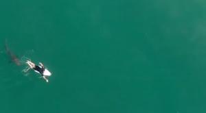Un gran tiburón blanco persigue a este surfista y un dron lo graba