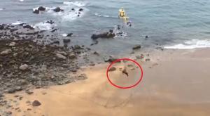 Increíble rescate de un toro en una playa asturiana tras el temporal