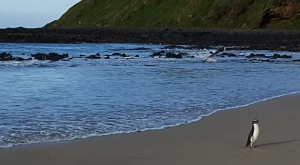 El pingüino que nadó 2.500 km para descubrir nuevas tierras