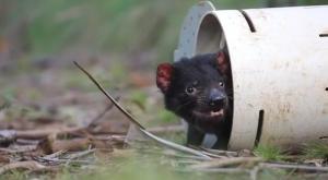 Demonios de tasmania bebé nacen en estado salvaje por primera vez en 3.000 años