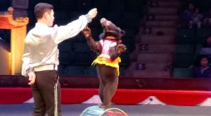 Vietnam pone fin a los espectáculos con osos en los circos
