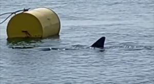 Un tiburón blanco, avistado en la costa de A Coruña
