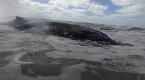 Rescatan dos ballenas jorobadas varadas en menos de 48 horas