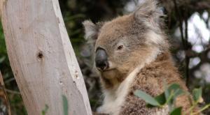 Australia pierde un tercio de su población de koalas