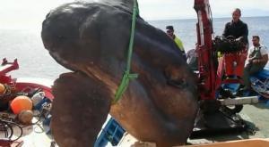 Pescan un pez luna gigante en la costa de Ceuta